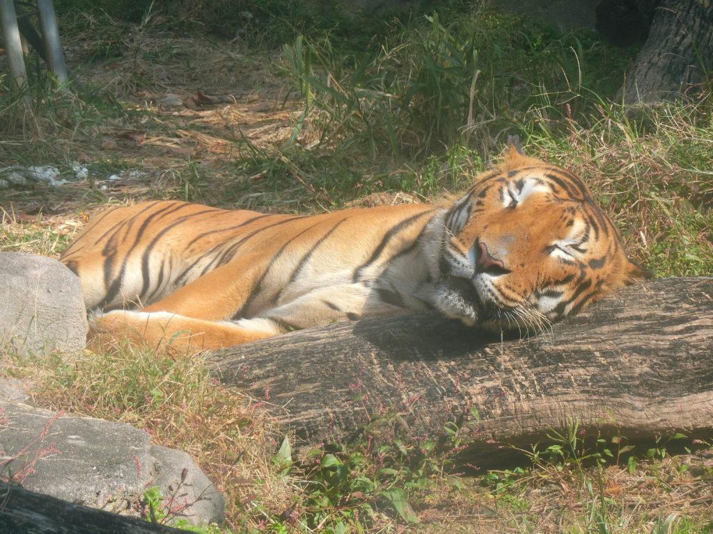 ソウル無料動物園 オリニ大公園 トラ