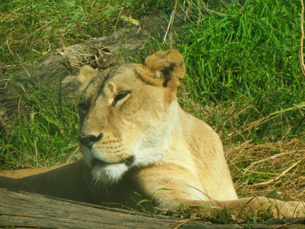 ソウル無料動物園 オリニ大公園 ライオン
